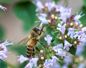 Bee photography,bee on flower image,honeybee photo,macro insect photo,bee print,whimsical image,bee art,standing bee photo,closeup bee photo
