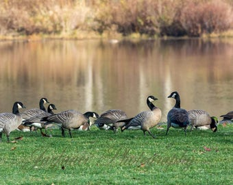 Geese in the Morning