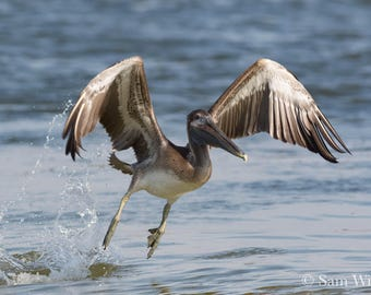 Pelican Lift Off the Ocean - Florida Gulf Coast Nature and Wildlife Photography Beach House Wall Art - Baby Pelican Splash Along the Coast