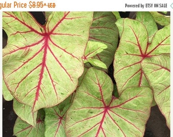 BIG SALE Caladium Autumn Beauty' (Bulbs)Great color in the shade. for pots,Spectacular Ground Cover !