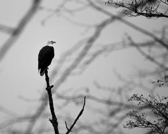 Black and white photograph print bald eagle perched tree Vancouver