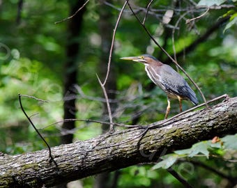 Green Heron Photograph // Heron Print // Bird Photography // Florida Nature