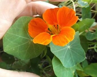 Nasturtium Seeds Edible Flowers Plants Herbs Peppery Watercress Salad Herbal Medicine