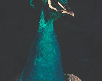 Peacock wall art, Peacock photography, Peacock print, feathers, bird print, turquoise, cyan, moody, dark, blue bird picture, bird wall decor