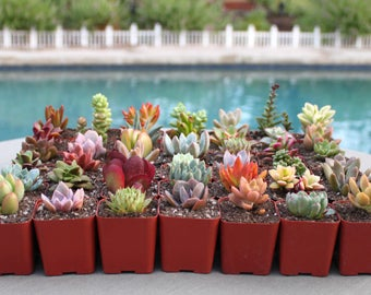 Group of 9 Colorful Succulents in 2 inch pots, Succulent, Succulents, Succulent Plants, Hens and Chicks, Terrarium Plants, Bulk Succulents