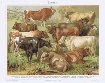 old litho cows, cattle, 1895
