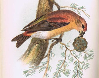 antique art print crossbill 1896