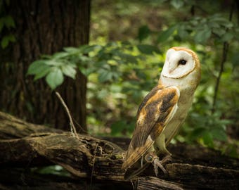 Barn Owl on a Limb