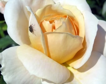 Rose and bug