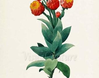 Gnaphalium eximium Flower Art Print, Botanical Art Print, Flower Wall Art, Flower Print, Floral Print, Redoute,red,green, Gnaphalium eximium