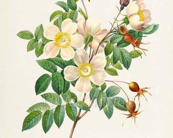 White Rose Flower Art Print, Rose Botanical Art Print, Flower Wall Art, Flower Print, Floral, Redoute Art, white, yellow, Rose de Candolle