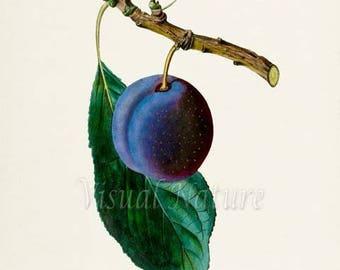 Kirkes Blue Plum Botanical Print, Plum Art Print, Plum Wall Art, Fruit Art, Fruit Print, Kitchen Art, Garden