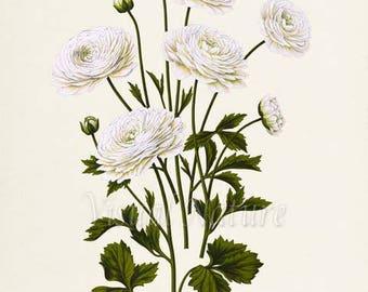 White Buttercups Botanical Print, Flower Art Print, Flower Wall Art, Floral Art, Buttercup Art Print, Ranunculus, Garden, white
