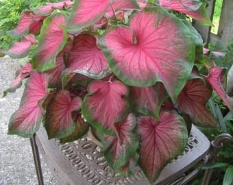 Caladium Florida Sweetheart (6 Bulbs)Thrives in Heat and Humidity, Elephant Ears