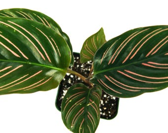 Easy care plants etsy - Calathea entretien ...