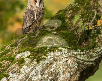 """Mounted Photographic Display Print - Long Eared Owl #2 (A4 print in 14"""" x 11"""" Mount, Unframed)"""