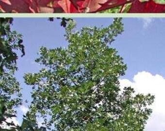 Mossycup Oak Tree