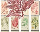 ALGAE-3 Collection of 249 vintage images botanical pictures High resolution digital download printable alga seaware 300 dpi seaweeds sea