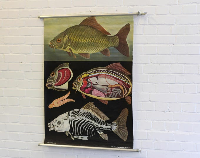 Wall Chart Of The Carp By Jung-Koch-Quentell Circa 1970s