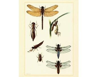 1960 Vintage Dragonfly Print. Nymph. Odonata Illustration. Insect. Entomology. Natural History.