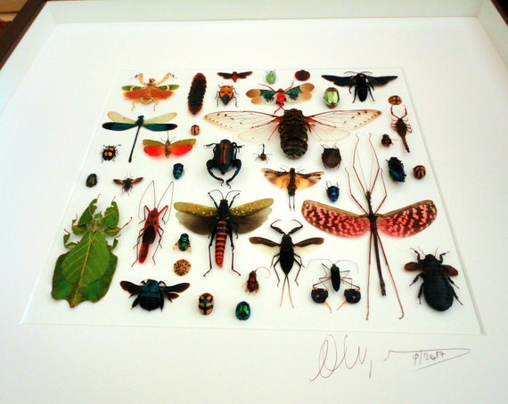 Artframe with real insects : Topquality display with beautiful mosaic of real beetles , 500 x500 mm, signed , FREE SHIPPING