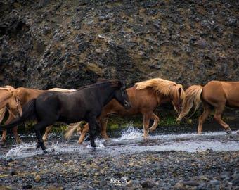 Icelandic horses - Fine art print 13 x 18 - going around 18 x 24