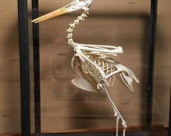 "american oystercatcher skeleton in glass frame ""Haematopus palliatus"""