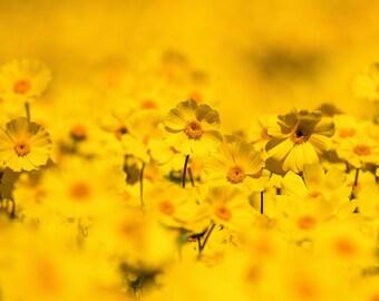 Yellow Wall Art Yellow Daisy Photo Flower Photography Prints Yellow Daisy Print Garden Botanical Nature Photography Print Bathroom Decor