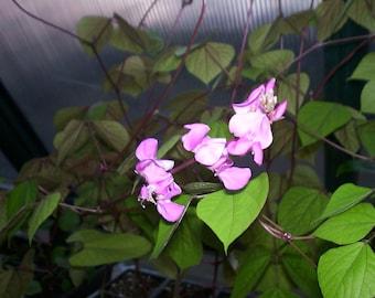 Hyacinth Bean Vine Plants