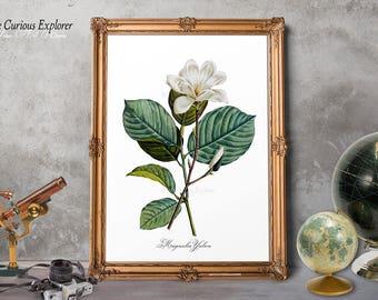 Magnolia Art Posters, Magnolia Print, Magnolia Dorm Decor, Magnolia Antique Art, Magnolia Bloom Art, Magnolia Floral Art - E10m1