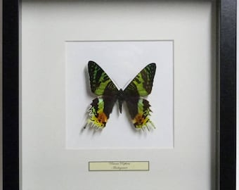 Mounted butterfly taxidermy, stuffed Butterfly Urania Ripheus in list