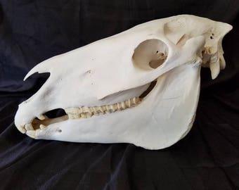 Real mule skull, animal skull