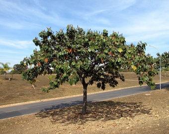 50  Seeds Balsa Baum,  Ochroma pyramidale , Balsa Wood Tree Seeds. Ochroma lagopus Seeds