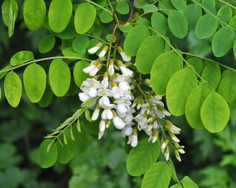 500  Seeds Robinia pseudoacacia Seeds, black locust Tree Seeds,