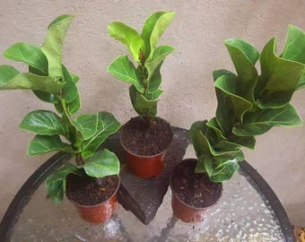 "Fiddle Leaf Fig Tree Ficus Lyrata Pandurata Growing in a 4"" Pot, Indoor/Outdoor Plant, Patio, Garden"