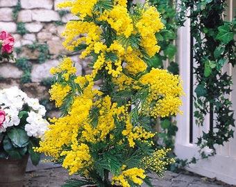 Acacia dealbata 'Gaulois Astier' - Mimosa Tree