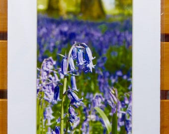 """Single Bluebell in Woods Photograph 6x4"""" Inkjet Print in an 8x6"""" Mount With Backing Board"""