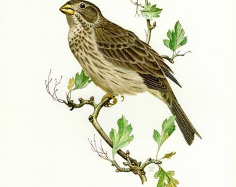 Vintage lithograph of the corn bunting from 1956