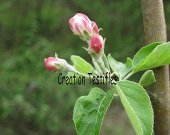 Tree photograph - Cherry Bud
