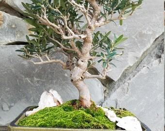 Dwarf Olive Bonsai