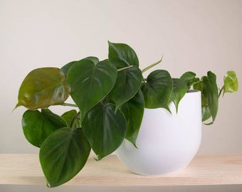 Heartleaf Philodendron Air Purifying Plant - Indoor - Easy Care