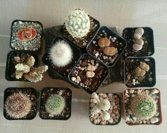 12-pack assorted cacti and lithops