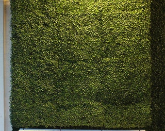 Boxwood wall 8' x 4'