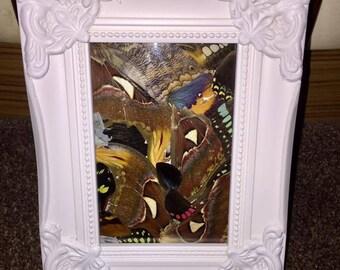Taxidermy Framed Butterfly wings