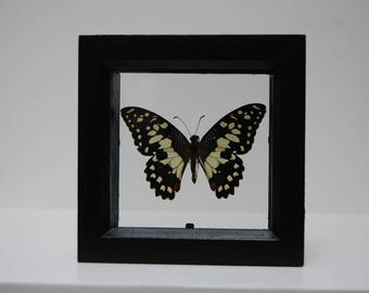 Lime Swallowtail Butterfly/Insect/Taxidermy