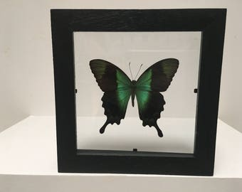 Stunning Papilio Peranthus Butterfly/Insect/Taxidermy/Lepidoptera.