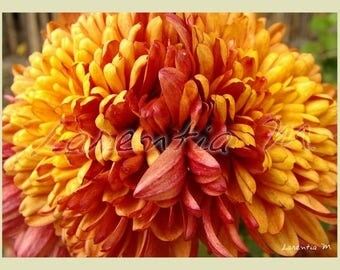 Red and yellow Dahlia flower 30X40cm picture
