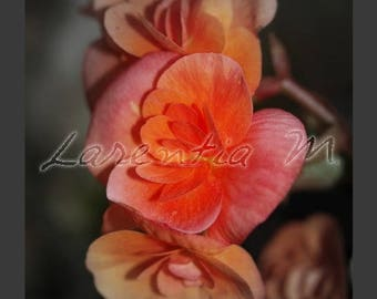 30X40cm begonia pink-orange flower macro photo