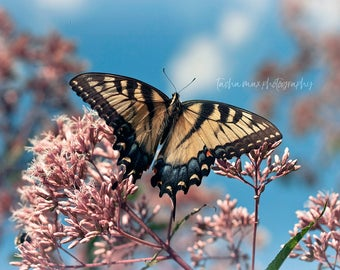 Western Tiger Swallowtail Butterfly - Nature Photography, Close Up, Macro, Green, Insect, Home Decor, Wall Art