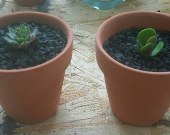 Succulent Set - Sempervivium and Jade in Terracotta Pots